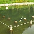 ひょうたん池にコイ泳ぐ