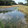 ひょうたん池に葦生える