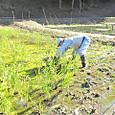水田のヒコバエ刈り