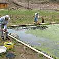 メダカ池のアオミドロ除去